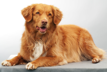 Nova Scotia Duck Tolling Retriever (Photo: oliverspetcare.com)