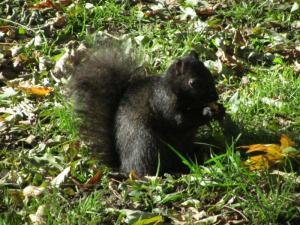 Ubiquitous black city squirrel
