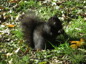 Ubiquitous black city squirrel