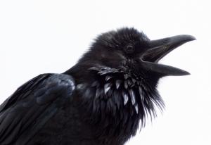 Quoth the Raven Nevermore // Photo: Doug Brown, Flickr Creative Commons via Audubon