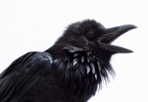 Quoth the Raven Nevermore // Photo: Doug Brown, Flickr Creative Commons via Audubon
