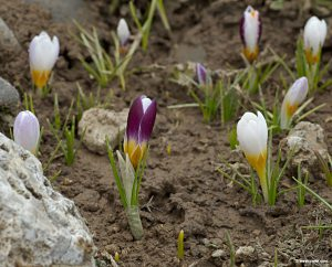 My crocuses are out about THIS far! Photo: west crete