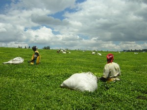 Tea picking in Kericho, Kenya - evidently not shade-grown! (Photo: wikipedia)