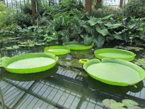 Lily pads as big as wading pools