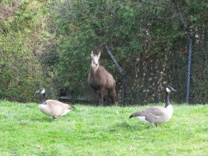I love how the local pest species (Canada Geese) just inserted themselves at the zoo! The animal at the centre is a chamois