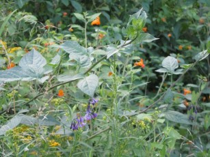 Touch-Me-Nots, Nightshade blossoms