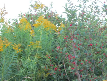 Goldenrod and ??