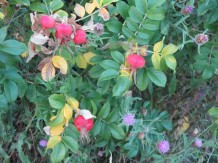 Rosehips and Knapweed (thistles)