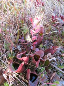 Carnivorous purple pitcher plant - looks like red tubes filled with water - to drown insects